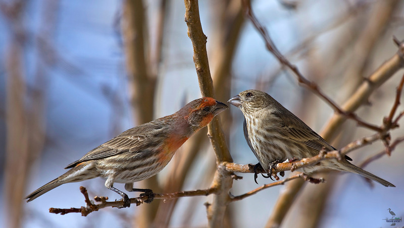 "match.com really works...........<br /> House Finch couple, Colorado<br /> ""Carpodacus mexicanus"""