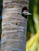 "Pileated Woodpecker, looking out palm tree nest site, Florida<br /> ""Dryocopus pileatus"""