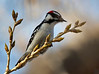 "Downy Woodpecker, Colorado<br /> ""Picoides pubescens"""