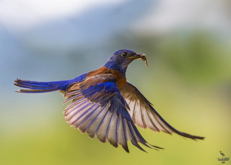 Western Bluebird/ Scalia Mexicana