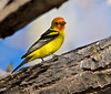 "Western Tanager, New Mexico<br /> ""Piranga ludoviciana"""