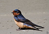 "Barn Swallow, Colorado<br /> ""Hirundo Rustica"""