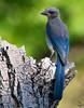 "Mexican Jay, juvenile, Colorado<br /> ""Aphelocoma ultramarina"""