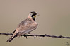 "Horned Lark, Colorado<br /> ""Eremophila alpestris"""