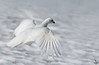"White-tailed Ptarmigan, flying<br /> ""Lagopus leucurus"""