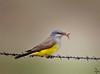 """Western Kingbird, Colorado<br /> """"Tyrannus verticalis"""""""