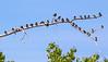 Barn Swallow / Hirundo rustica