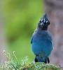 "Steller's Jay, Colorado<br /> ""Cyanocitta stelleri"""