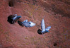 Rock Dove (Feral Pigeon) / columba livia
