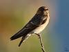 "Cliff Swallow, juvenile, Colorado<br /> ""Petrochelidon pyrrhonota"""