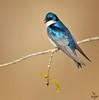 """Tree swallow / male, Colorado<br /> """"Tachycineta bicolor"""""""
