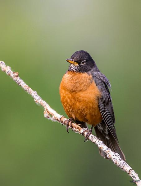 American Robin/male