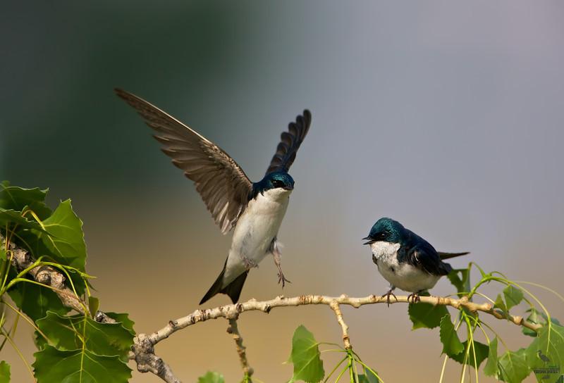 "Tree Swallows, on a branch, Colorado<br /> ""Tachycineta bicolor"""