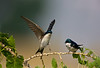 "Tree Swallows, on a branch, Colorado<br /> ""Tachycineta bicolor"""