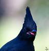 "Steller's Jay, juvenile, Colorado<br /> ""Cyanocitta stelleri"""