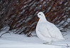"White-tailed Ptarmigan, standing by willows<br /> ""Lagopus leucurus"""