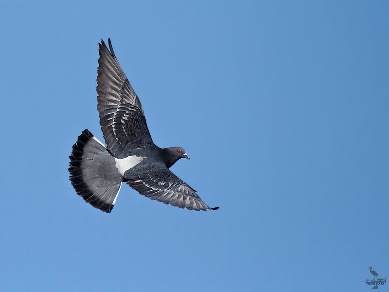 "Rock Pigeon in flight, Colorado<br /> ""Columba livia"""
