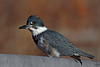 """Belted Kingfisher, fishing from his favorite spot.......<br /> """"Ceryle alcyon"""""""