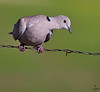"Eurasian Collared-Dove, Colorado<br /> ""Streptopelia decaocto"""