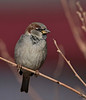 "House Sparrow, Colorado<br /> ""Passer domesticus"""