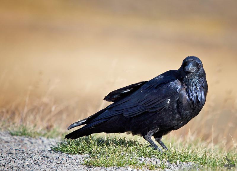 """Common Raven, Wyoming<br /> """"Corvus corax"""""""
