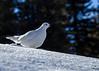 White-tailed Ptarmigan / Lagopus Leucurus