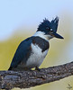 "Belted Kingfisher, Colorado<br /> ""Ceryle alcyon"""