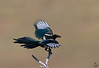 "Black-billed Magpie, landing on branch, Colorado<br /> ""Pica hudsonia"""