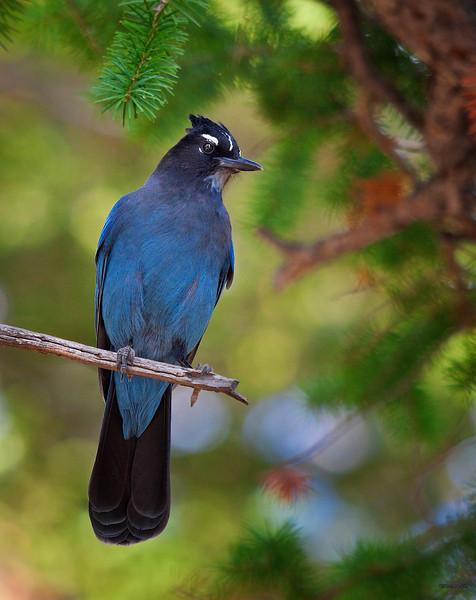 "Steller's Jay, Colorado<br /> ""Cyanocytta stelleri"""