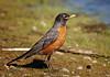 """American Robin, Colorado<br /> """"Turdus migratorius"""""""