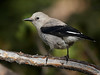 "Clark's Nutcracker, Colorado<br /> ""Nucifraga columbiana"""