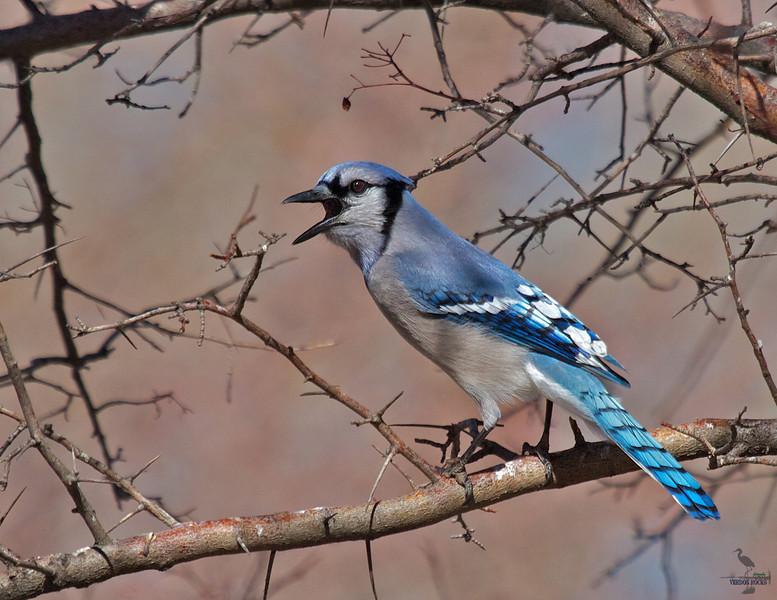 "Blue Jay, Colorado<br /> ""Cyanocitta cristata"""