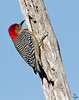 "Red-bellied Woodpecker, on tree, Florida<br /> "" Melanerpes carolinus"""