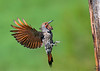Northern Flicker / Colaptes auratus