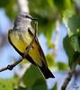 "Western Kingbird / male, Colorado<br /> ""Tyrannus verticalis"""