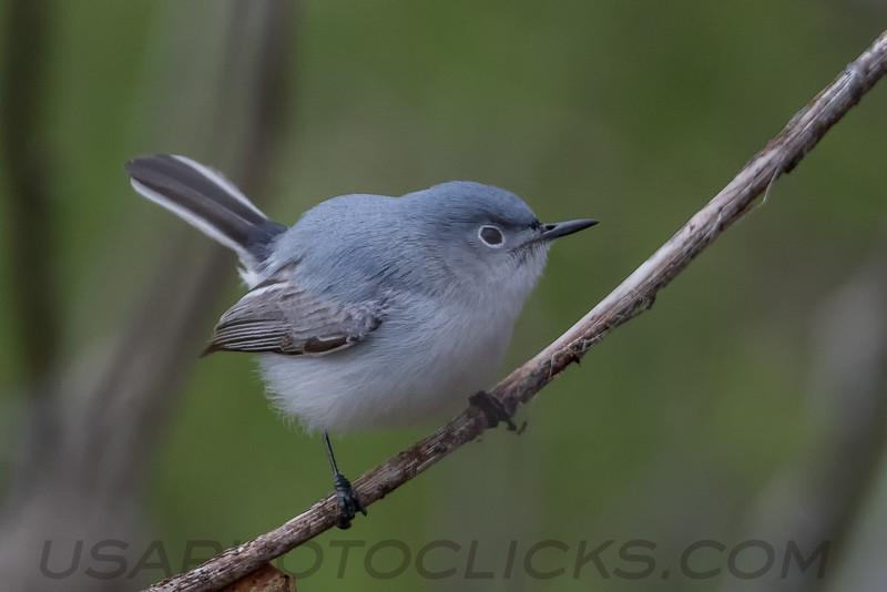 Blue Gray Gnatcatcher (b0705)