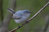 Blue Gray Gnatcatcher (b0705)