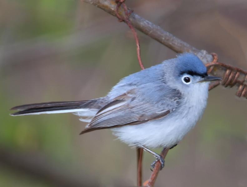 Blue Gray Gnatcatcher (b0702)
