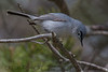 Blue Gray Gnatcatcher (b0704)