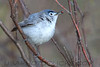 Blue Gray Gnatcatcher (b0701)
