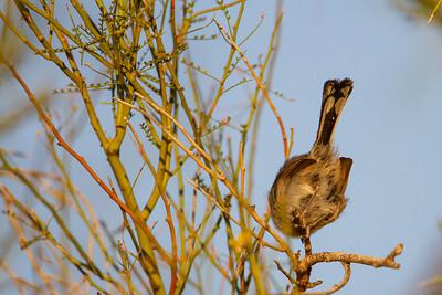 Black-tailed Gnatcatcher - Tucson, AZ, USA