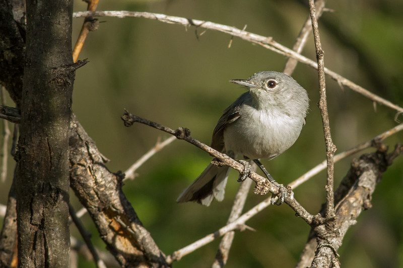 Black-capped Gnatcatcher, Montosa Canyon, Arizona