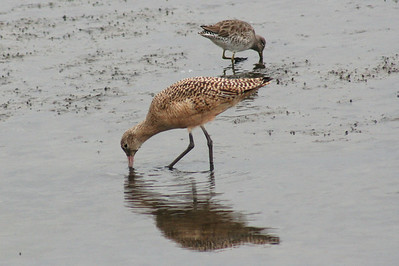 Marbled Godwit & Long-billed Dowitcher