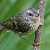 Golden-Crowned Kinglet<br /> 16 AUG 2006