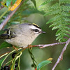 Golden-Crowned Kinglet<br /> 08 OCT 2012