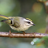 Golden-Crowned Kinglet<br /> 01 OCT 2012