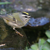 Golden-Crowned Kinglet<br /> 11 OCT 2006