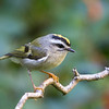 Golden-Crowned Kinglet<br /> 19 SEP 2013