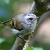 Golden-Crowned Kinglet<br /> 18 JUN 2013