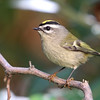 Golden-Crowned Kinglet<br /> 15 OCT 2011